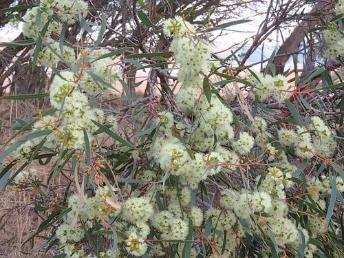 Eucalyptus viridis 3