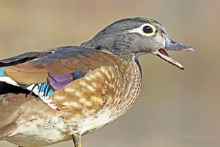Wood Duck Hen 18-0310-6026