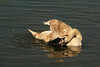 Bend me, shape me........ (Jay Bees Pics) Tags: swan juvenile preening waterfowl muteswan attenboroughwildlifetrust nottingham england uk 2018 ngc npc
