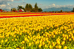 Tulip Field Mount Vernon (paweesit) Tags: tulip tulipfields flowers flora skagitvalley mountvernonwa washington washingtonstate tulipfestival us paweesit canon sky flower landscape