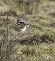 Great Grey Shrike. (Nobby1968) Tags: shrike