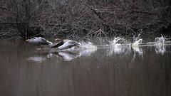 Fotofinish (carlo612001) Tags: fotofinish run runners sport nature birds ducks lake water gp motonautica wildlife