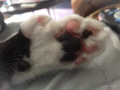 Take time to Paws.... (Little Hand Images) Tags: paw catpaw toes pads fur animal noclaws polydactyl feline pet count tuxedocat blackandwhitefur