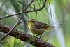 Palm Warbler (Maggggie) Tags: palmwarbler bird yellow brown tree pine nature migratory