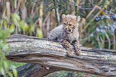 Funny cheetah cub on the branch (Tambako the Jaguar) Tags: cheetah big wild cat cub young baby portrait posing branch resting holding log tree funny cute vegetation basel zoo zolli switzerland nikon d5