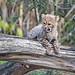 Funny cheetah cub on the branch