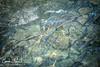 Truites au lac bleu (Claude-Olivier Marti) Tags: suisse switzerland swissmountains lac landscape blausee lacbleu d850 nikond850 nature water