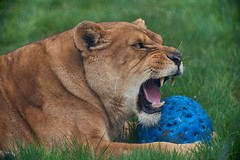 c'est mon ballon (rondoudou87) Tags: lionne ballon pentax k1 parc park parcdureynou zoo reynou teeth tooth grass herbe nature natur wild sauvage smcpda300mmf40edifsdm lioness