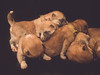 Puppies dreaming (Kaisa Pixels) Tags: dream akitainu puppies cuteness pet animal
