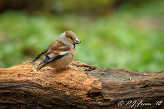 Hawfinch 3 (Rat_Salad (sorry if too busy to play for a while..) Tags: canon1dx canonef600mmf4isusml canon14xextenderiii hawfinch coccothraustescoccothraustes finch passerine cardiff wood log food feeding