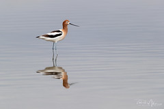 American Avocet (RH Miller) Tags: rhmiller reedmiller wildlife bird americanavocet water waterbird idaho usa