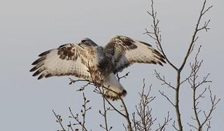 Rough-legged Hawk  9351