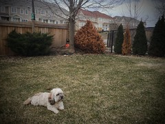 Now this is more like it! (PEEJ0E) Tags: 18c yard spring rescue dog pet mutt maltese rusty