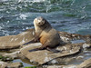 Lone Sea Lion (brian eagar - very busy - not much time to comment) Tags: ocean pacific california wildlife nature outdoor outside seal mammal marinemammal lajolla