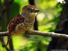 barred puffbird, Nystalus radiatus, Birding tour Magdalena valley (Apulo, Cundinamarca) (OSWALDO CORTES -Bogota Birding and Birdwatching Co) Tags: barredpuffbird nystalusradiatus birdingtourmagdalenavalleyapulo cundinamarca