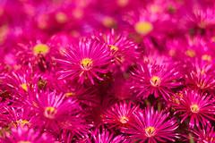 Pink Ice (Aerogami.com) Tags: iscogottingentelewestanar135mmf35onmacrotube westanar isco pink iceplant succulent macro bokeh creamy