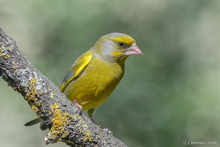 Chloris chloris ♂︎ (Verdone, Greenfinch, Verdier d'Europe)