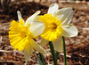 2018-04-09 Mount Hood daffodil D7C_0727 cropped (rosepetal236) Tags: flowers fortcollins colorado daffodils ice follies daffodil mounthood mount hood mounthooddaffodil