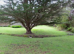 Wiki Under Lone Cypress (series 3 cypress pix) (Room With A View) Tags: wiki tree cypress meeting