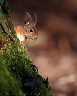 Red Squirrel 8725(6D3) 8x10