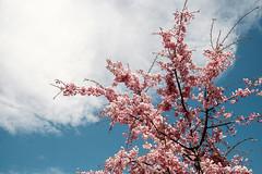 20180414 sakura sky (chromewaves) Tags: fujifilm xt20 xf 1855mm f284 r lm ois lake kawaguchi kawaguchiko mount fuji japan