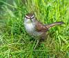Wet Feet. (Omygodtom) Tags: wildlife wren bokeh bird nikon70300mmvrlens d7100 oaksbottom urbunnature natural coth5 scene usgs