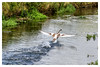 Take-off [1355] (my-travels (on/off)) Tags: bibury bird amphibian takeoff river creek nature flight england unitedkingdom nikon d7200 greatbritain gloucestershire gb
