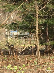 Happy-Looking Deer (sjrankin) Tags: 22april2018 edited yubari hokkaido japan picturebynaomi zoom deer trees