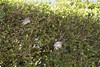 20180422 Hole in the hedge gang (an_extract_of_reflection) Tags: animal garden hedge sparrow macro