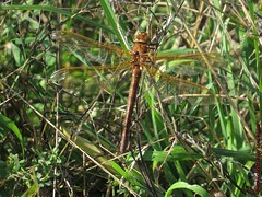 Brown Hawker (Female) (enthusiastically unskilled) Tags: brown hawker hinchingbrooke country park