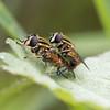 Helophilus pendulus (Ouwesok) Tags: canoneos80d sigmaapo35180mmaf helophiluspendulus gewonependelvlieg zweefvlieg insect harderbos