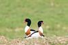 D50_7311.jpg (ManuelSilveira) Tags: tadorna aves fauna