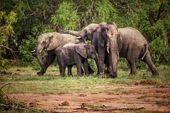 Familienbande... (D.Purkhart) Tags: elefant elephant family skukuza mpumalanga kruegernationalpark kruegerpark southafrica southafrican suedafrika wildlife wildanimals