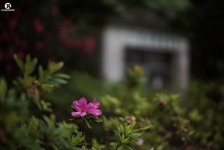 給至愛的花朶。 For My Love.