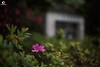 給至愛的花朶。 For My Love. (ORANGEREPUBLIC) Tags: photolovers photoshopexpress iso100 photoeditor manualfocus blur sonya7r2 mirrorless beautifulbokeh 花の寫真 lonely natural mitakon50mmf095 f095 fullframe