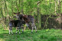 Okapi mit Jungtier (he-photogrphy) Tags: tier säugetier okapi jungtier muttertier zoo leipzig