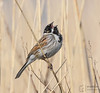 Sing it loud (mikedenton19) Tags: reed bunting reedbunting male emberiza schoeniclus emberizaschoeniclus bird wildlife staidans nature reserve naturereserve rspb aire valley airevalley swillington swillingtonings westyorkshire