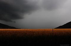 ears of wheat, poppies and thunderstorms (Flavio Calcagnini) Tags: ears wheat poppies thunderstorms italy italia mulino di fiorano piacenza storm sky paesaggio panorama landscape yellow cloud clouds nuvole black travo rivergaro color colori grano campo calcagnini flavio photograpy pioggia rain val trebbia valley