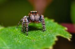 Little Jumper (riggy-riggo) Tags: jumpingspider spider arachnid macro nature wildlife woodland kent canon5dmarkll canonmpe65mm diffusedflash debbierigden riggyriggo deborah rigden
