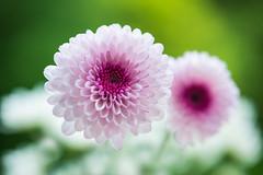 chrysanthemum 7389 (junjiaoyama) Tags: japan flower chrysanthemum mum white pink bokeh macro spring macromademoiselle