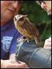 Otis, Scops Owl (kcm76) Tags: walthamabbey codafalconry birds 2018 olympuse620