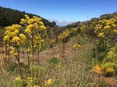 flores Senderismo Ruta desde Pico de las Nieves a Cueva Grande Gran Canaria  11 (Rafael Gomez - http://micamara.es) Tags: flores senderismo ruta desde pico de las nieves cueva grande gran canaria