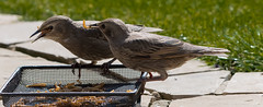 Young Starlings with grub