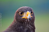 Hawk 鷹眼 (szintzhen) Tags: 鷹 鳥 散景 北投 台北市 台灣 hawk bird bokeh taipeicity taiwan