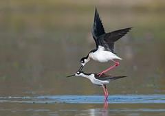 Black necked stilts (knobby6) Tags: blackneckstilt mating courting shorebird california nikond5 600mm
