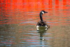 Japanese Bridge Reflection (Jon Ariel) Tags: cranbrook michigan mi lake goose bird reflection bloomfieldhills