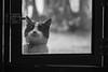 Ups! (Letua) Tags: 7dwf tuna animal blackandwhite blancoynegro cat gato kitten kitty mascota metal monocromo pet portrait retrato ventana window