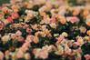 apricot (Frau Koriander) Tags: apricot peach roses rosen rosenfeld rosenhöhe rosenhöhedarmstadt rosarium rose rosengarten flowers flora flower blume blumen nikond300s lensbaby lensbabycomposerpro lensbabycomposerproedge80 lensbabyedge80 edge80 80mm tiltshift tilt darmstadt rosenblüte blossoms blooming blüten schärfeverlauf dof depthoffield meadow