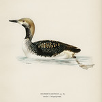 Black-throated loon (Colymbus arcticus) illustrated by the von Wright brothers. Digitally enhanced from our own 1929 folio version of Svenska Fåglar Efter Naturen Och Pa Sten Ritade. thumbnail