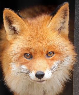 red fox Hoenderdaell BB2A2715